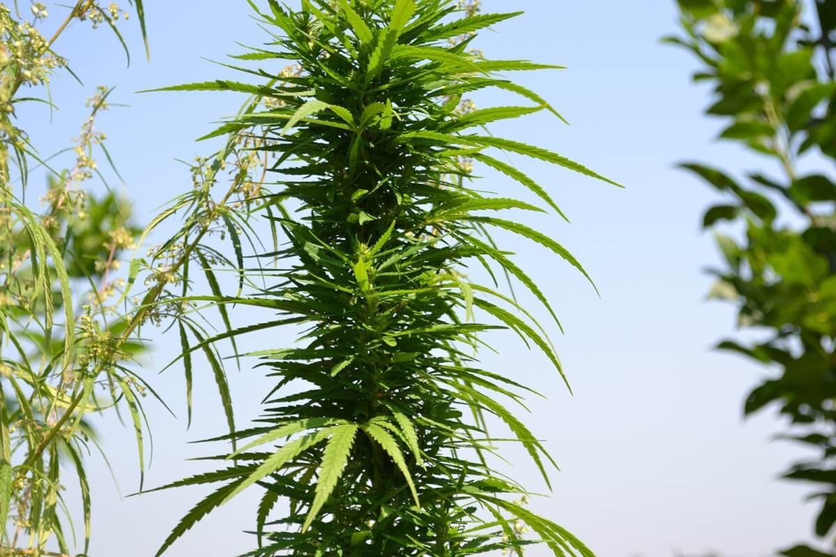 Schweizer Bundesrat will es mit Cannabis versuchen