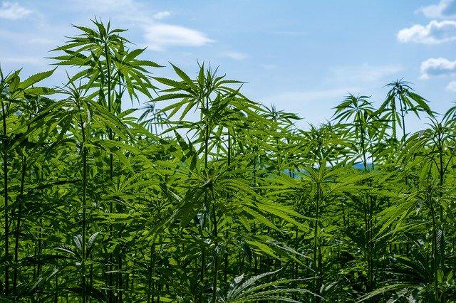 Cannabis Bauer zieht nach Italien