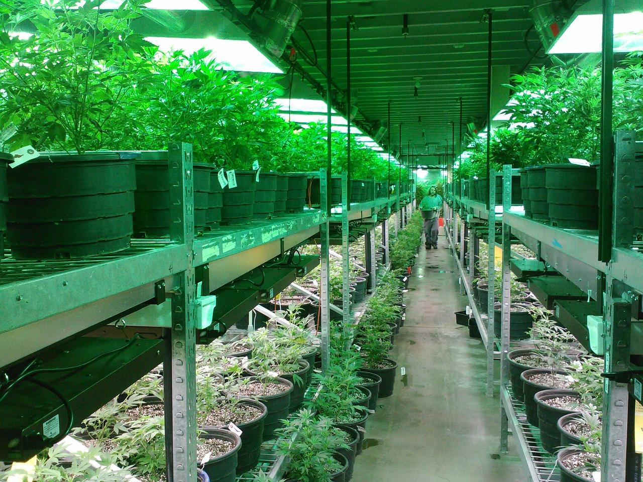 Cannabis-Überangebot schadet Unternehmensbilanzen