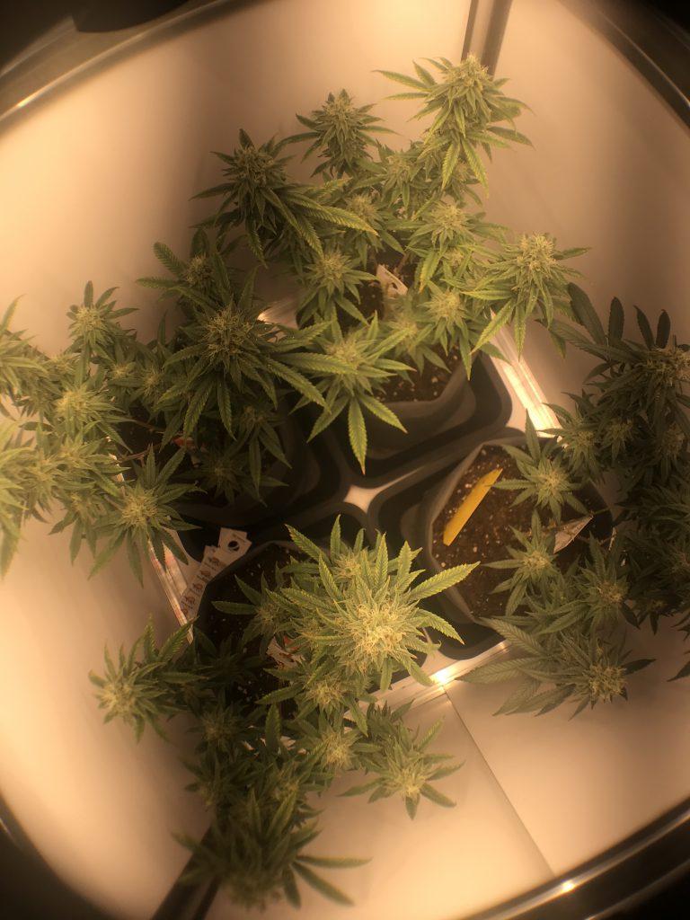 Grow Report CBD-Stecklinge kurz vor der Ernte