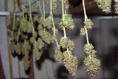 Cannabis beim trocknen