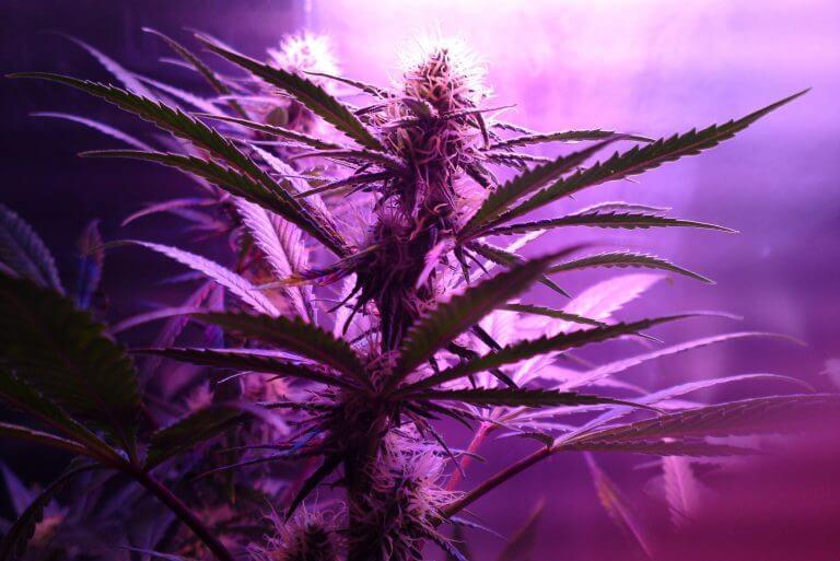 Marihuana – Vom Anbau, über die Ernte, bis zum Verfahren!
