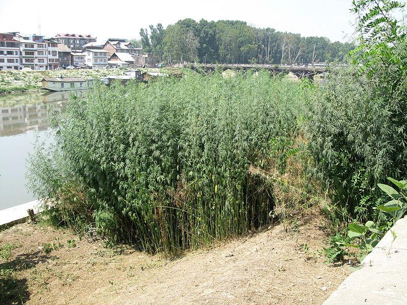 Garten mit Cannabis in Srinagar, Kashmir