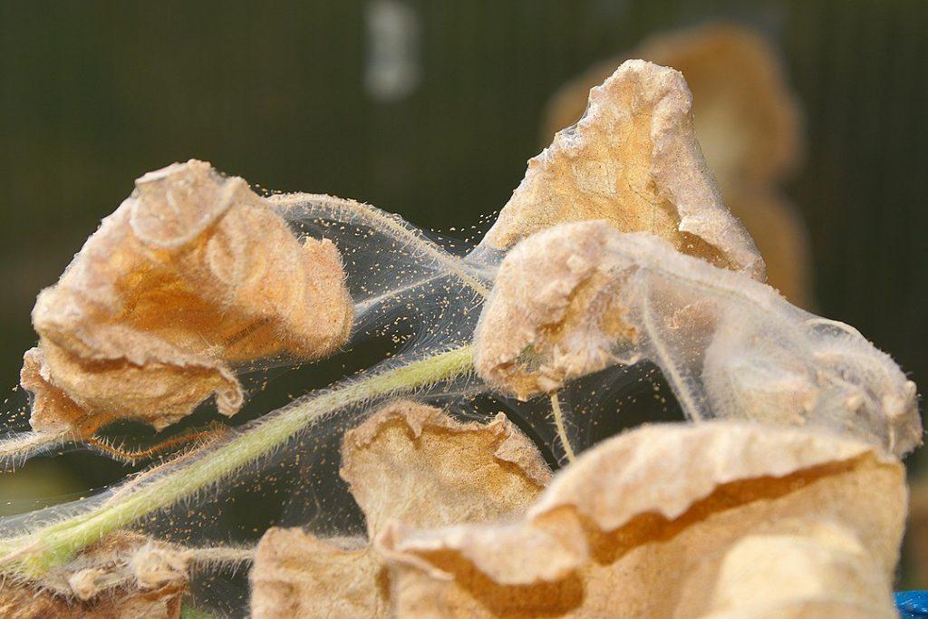 Pflanzenkrankheiten-Teil-3-Netz-Spinnmilben