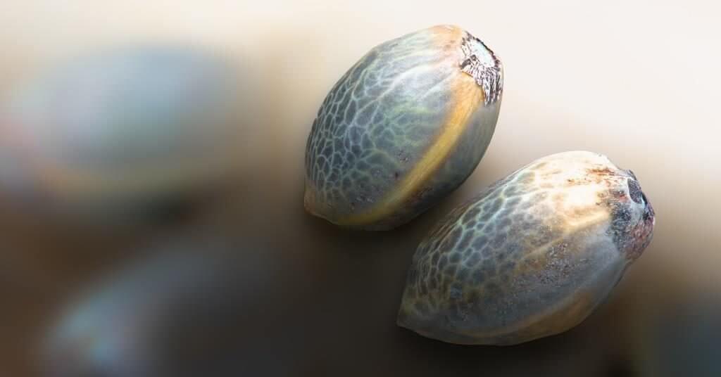Hanf als Nutzpflanze