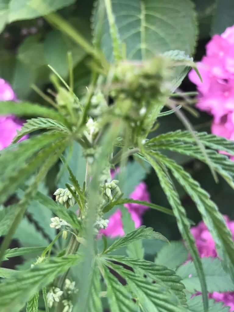 Hanf als Nutzpflanze 2