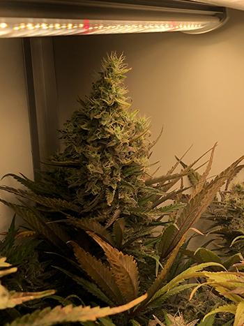Jeroen züchtet dicke Critical-Buds mit der G-Bars LED Lampe
