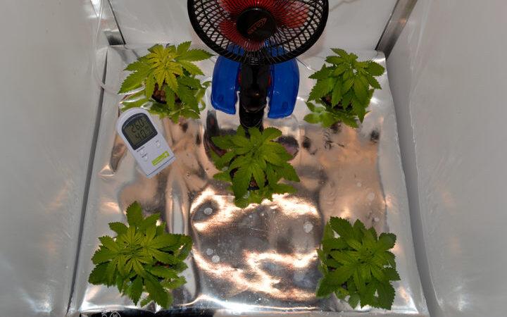Nährstoffmangel bei Hanfpflanzen Header