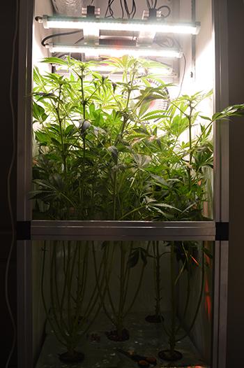 4. Blütewoche der Cannabispflanzen