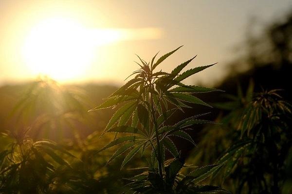 Cannabis aufbewahren und frisch halten