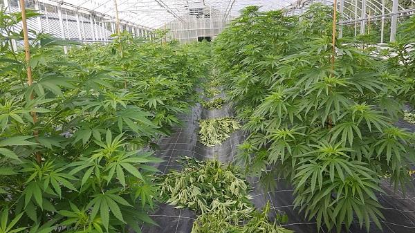 Cannabis Diebe