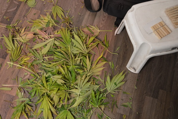 Die Cannabis Ernte
