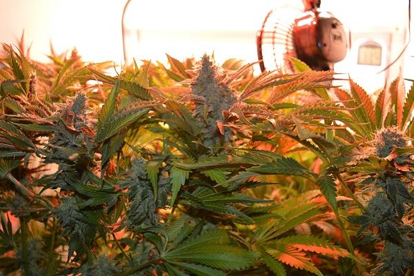 Indoor Anbau Cannabis