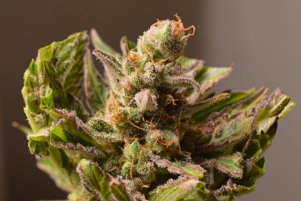 Inhaltsstoffe im Cannabis