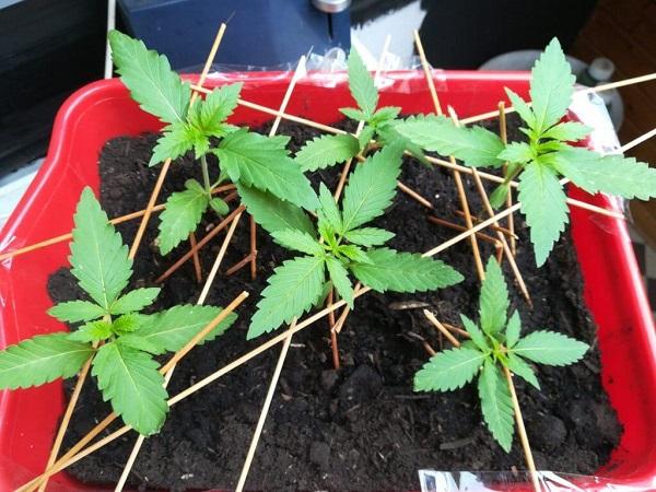 Keimung von Cannabissamen