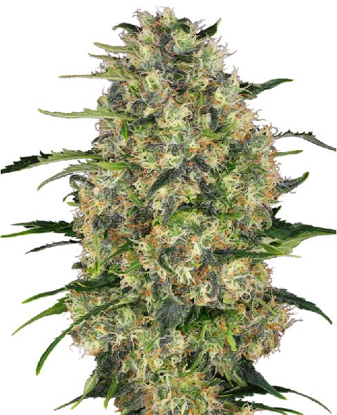 schwarzes Cannabis