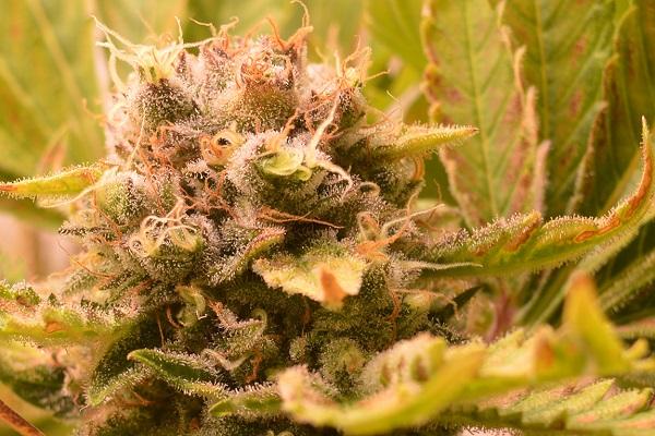 Die Cannabis Terpene