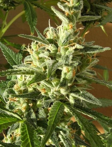 Cannabis-Samenbanken