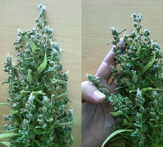 Genetische Mutationen bei Cannabis