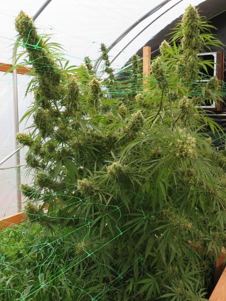 ACE Seeds Honduras Sativa