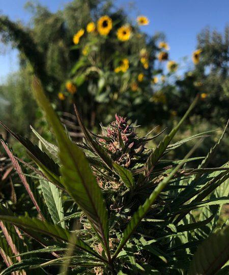 UN beschließt Neueinstufung von Cannabis