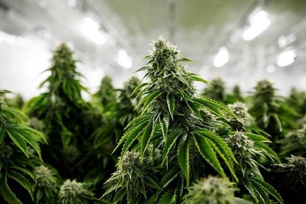 Freizeit-Cannabis