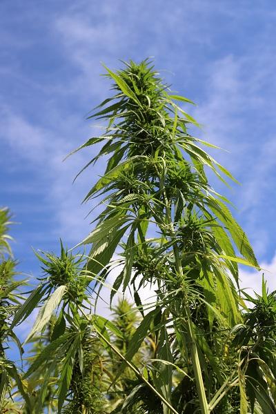 Altamar über die Zukunft von Cannabis