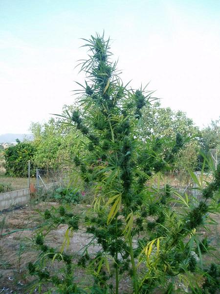 420 der Cannabis Feiertag