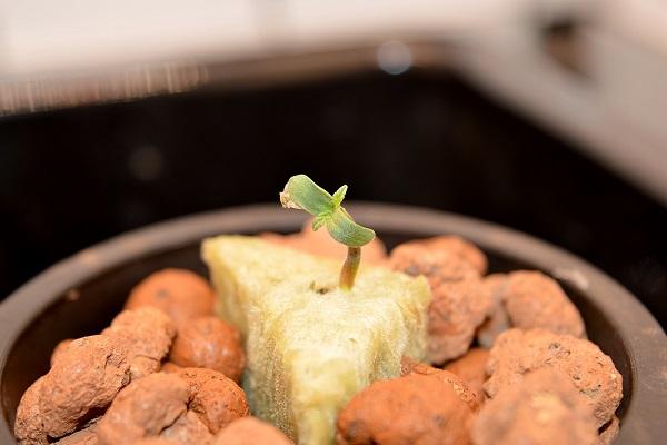 Indoor Grow mit der Auto Blancaneu