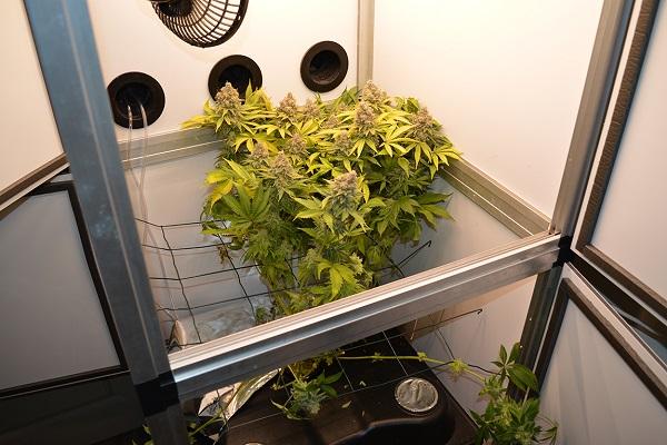 Cannabis-Ernte