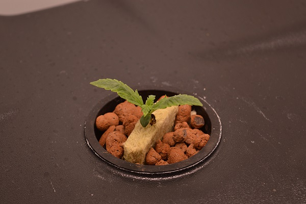 Indoor Grow mit Automatik Pflanzen