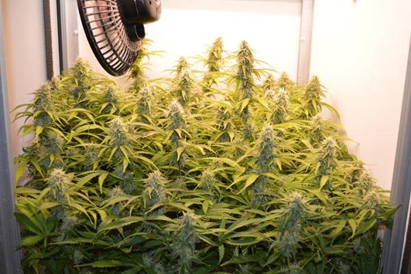 Dr. Green feiert den 420 Cannabis-Day