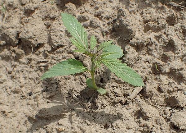 Cannabis-Industrie