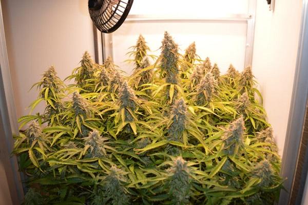 Die Cannabis Ernte wird eingefahren